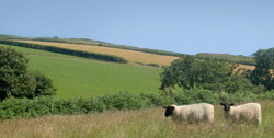 Sheep on a Devon hillside