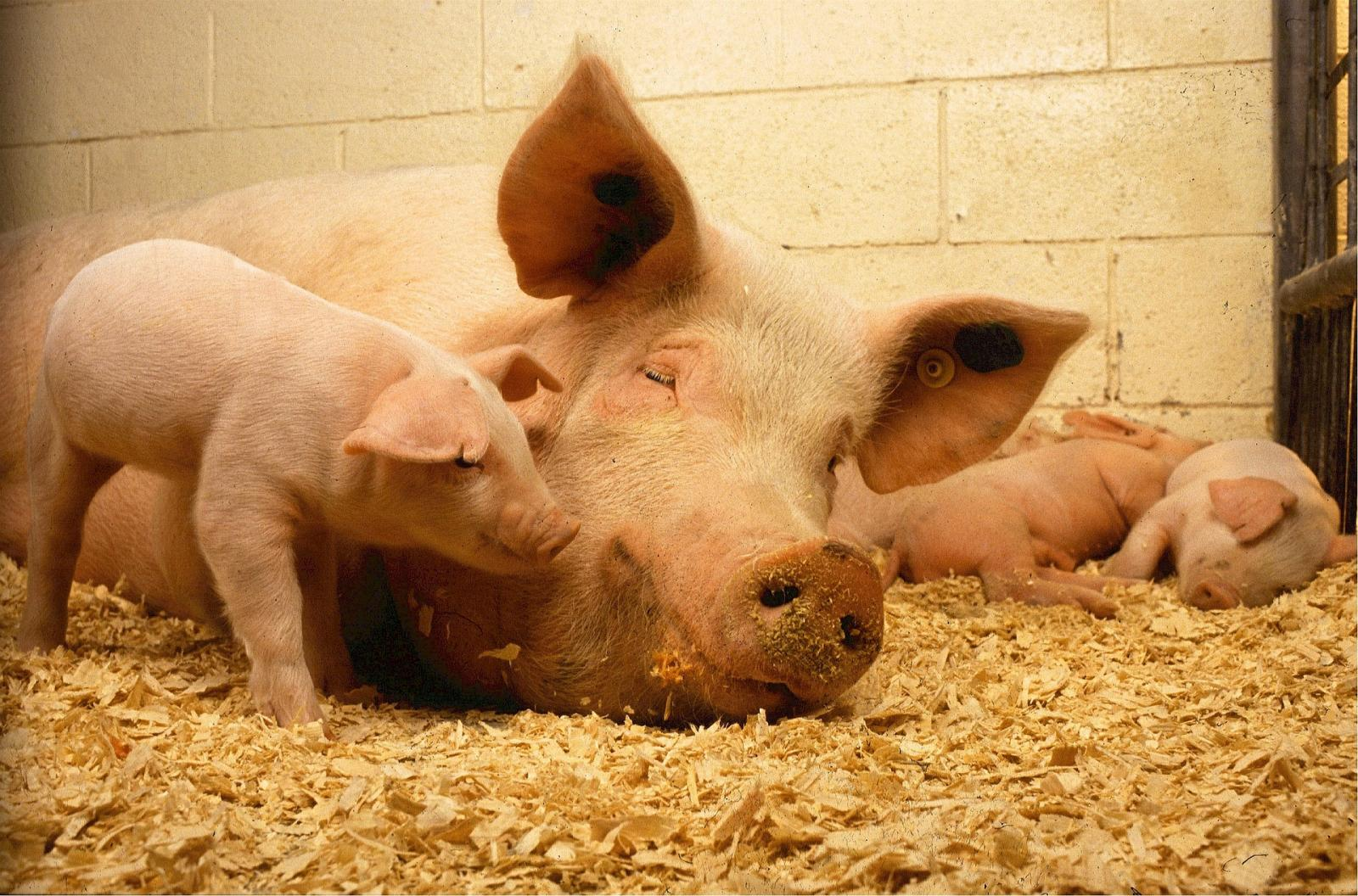 Pigs and piglets. Photo credit: Pixabay