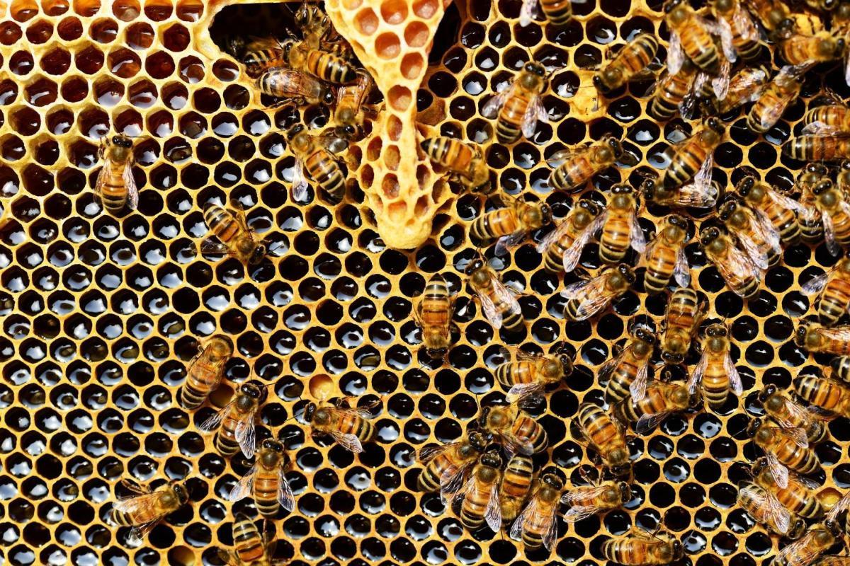 Honey bee. Photo credit: pixabay