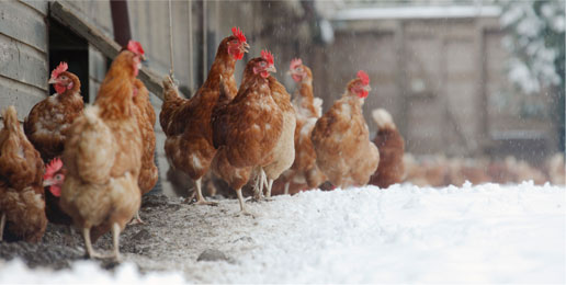 Chickens in the snow. Photo credit: Sustain