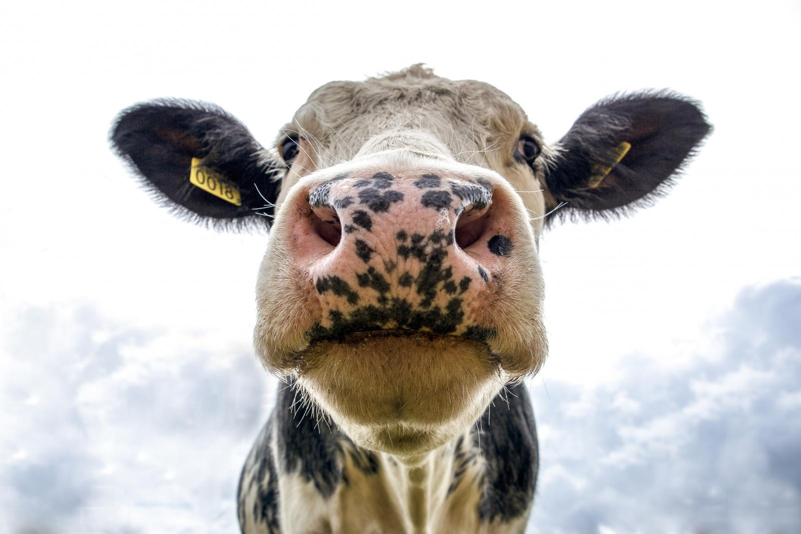 Cow face. Photo credit; Pexels