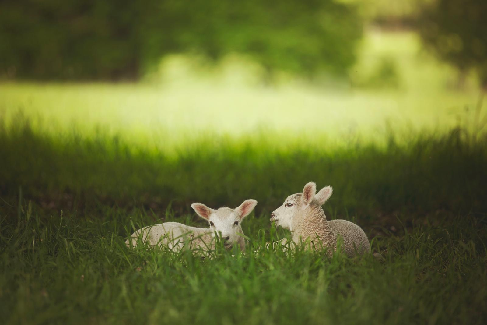 Lams on grass. Photo credit: Pexels