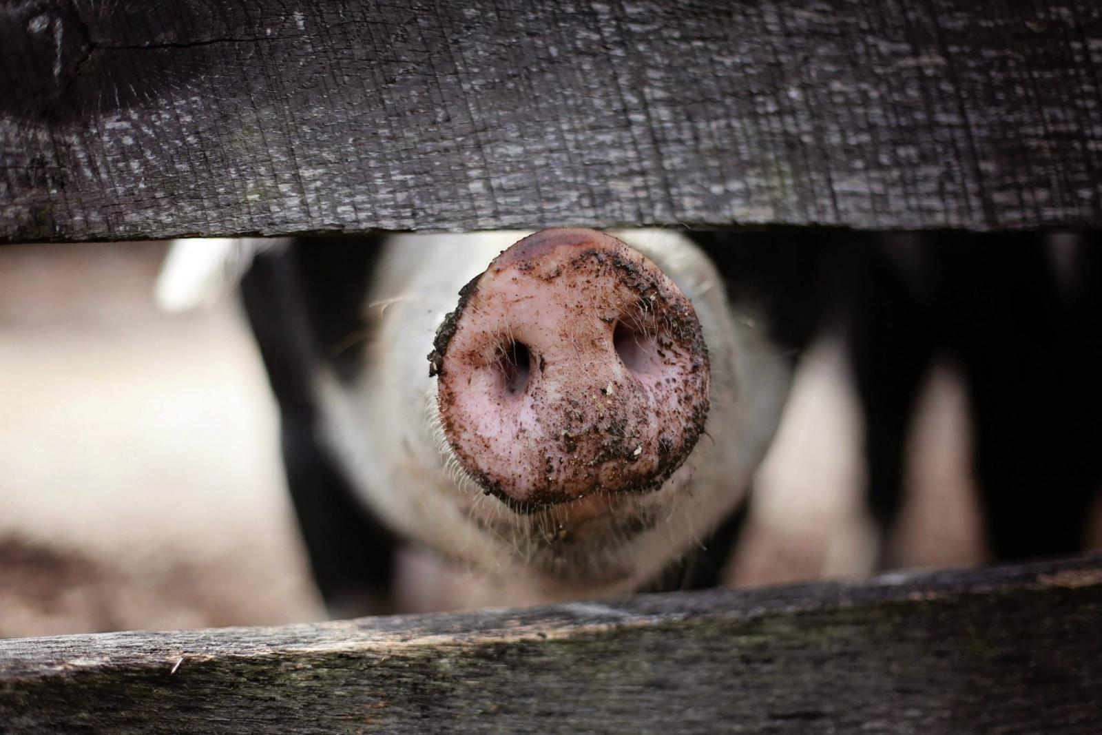 Pig in sty. Photo credit: Pexels