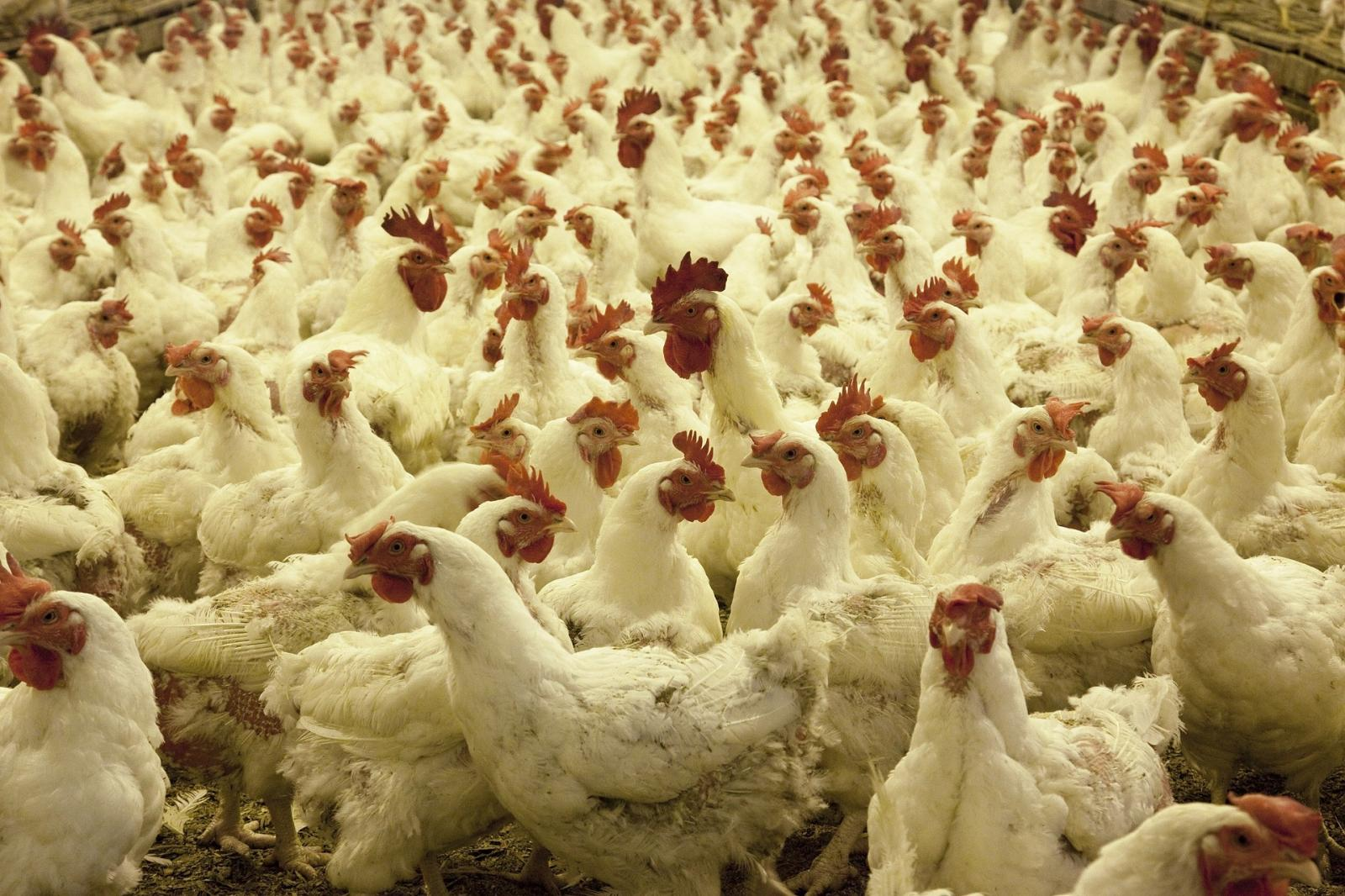 Poultry farm. Photo credit: Pixabay
