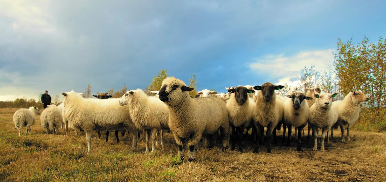 Sheep. Photo credit: Alexander Matthias at pexels
