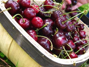 Beautiful fresh cherries
