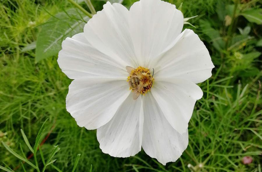 common carder bee on organic farm credit: V Hird