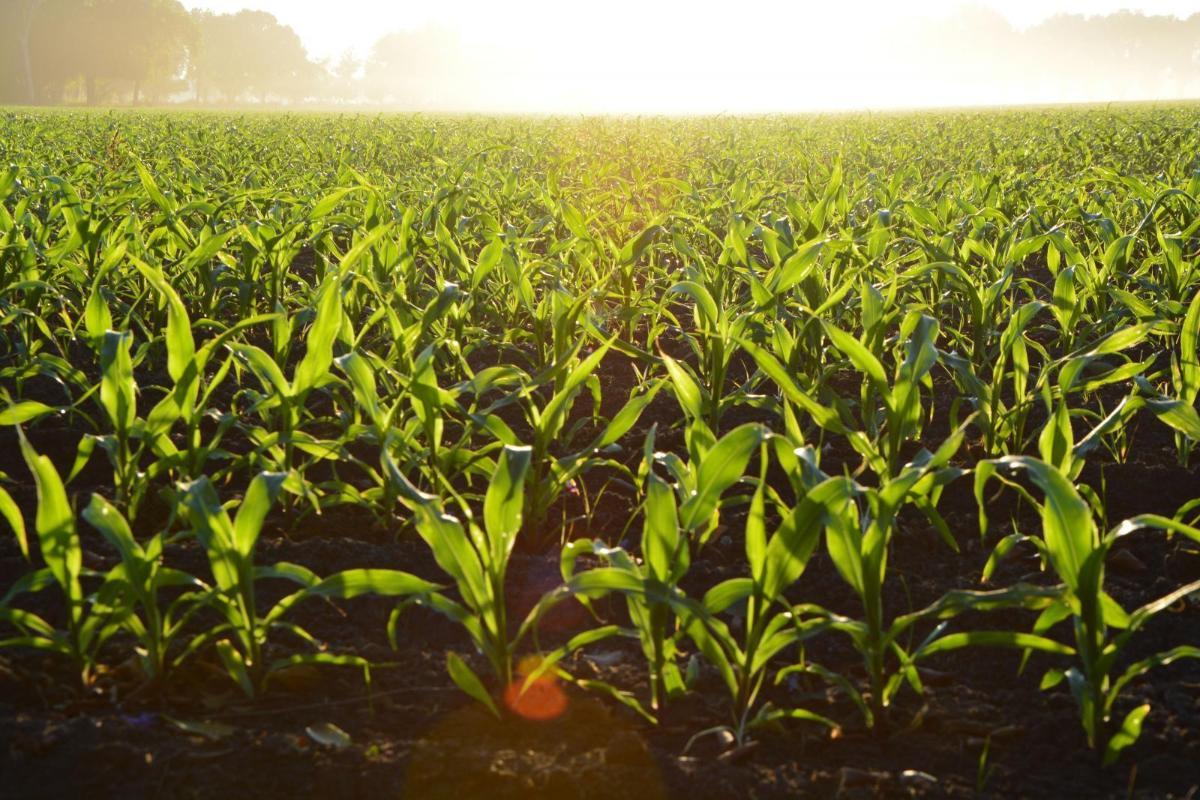 Corn crops image by Alejandro Barrón