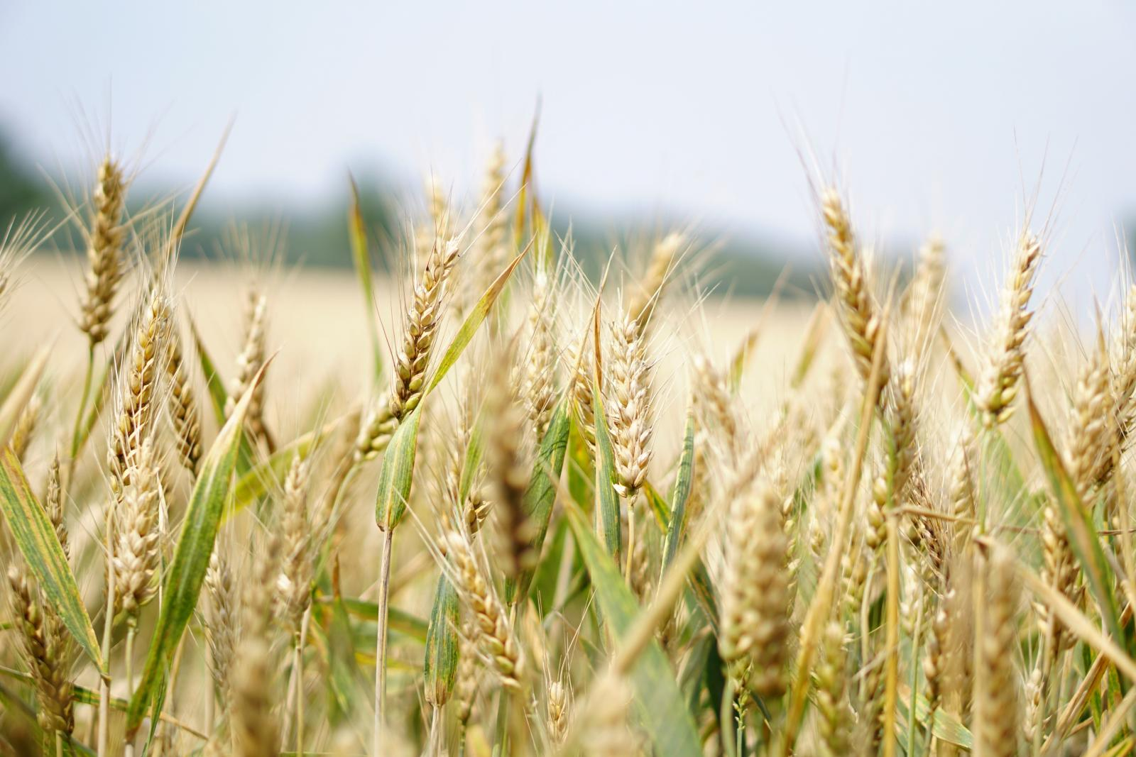 Arable crops. Photo credit: Pexels