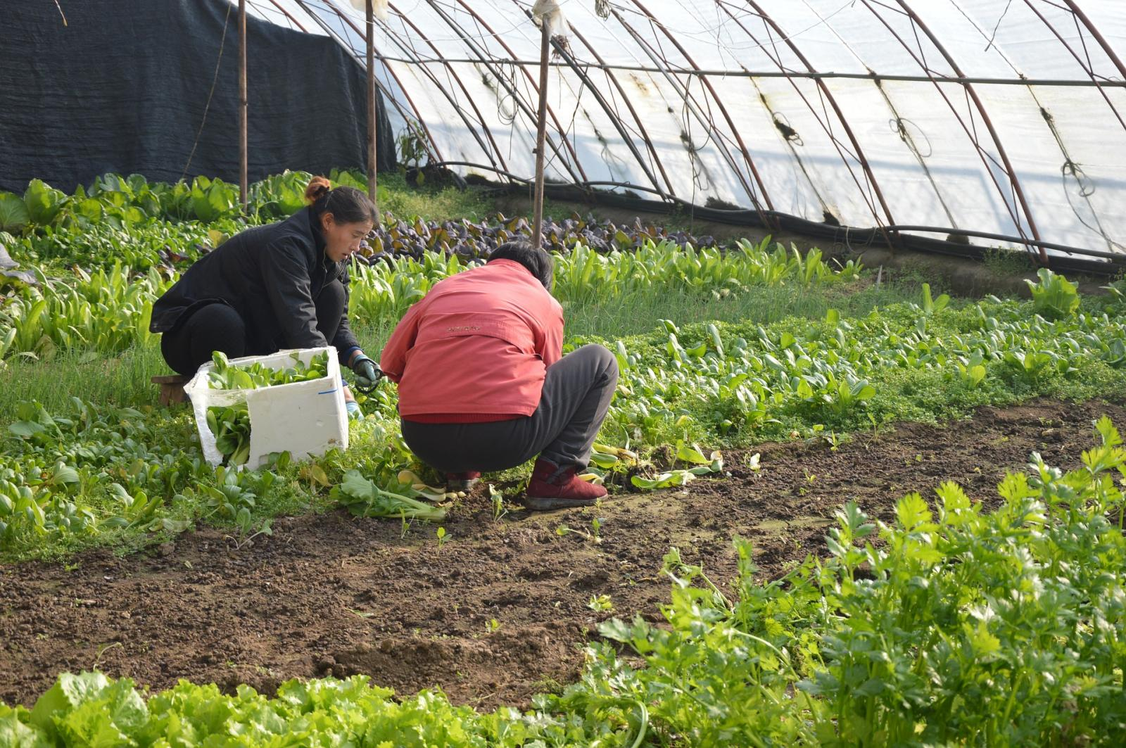 Farm workers in a polytunnel. Photo credit: Pixabay