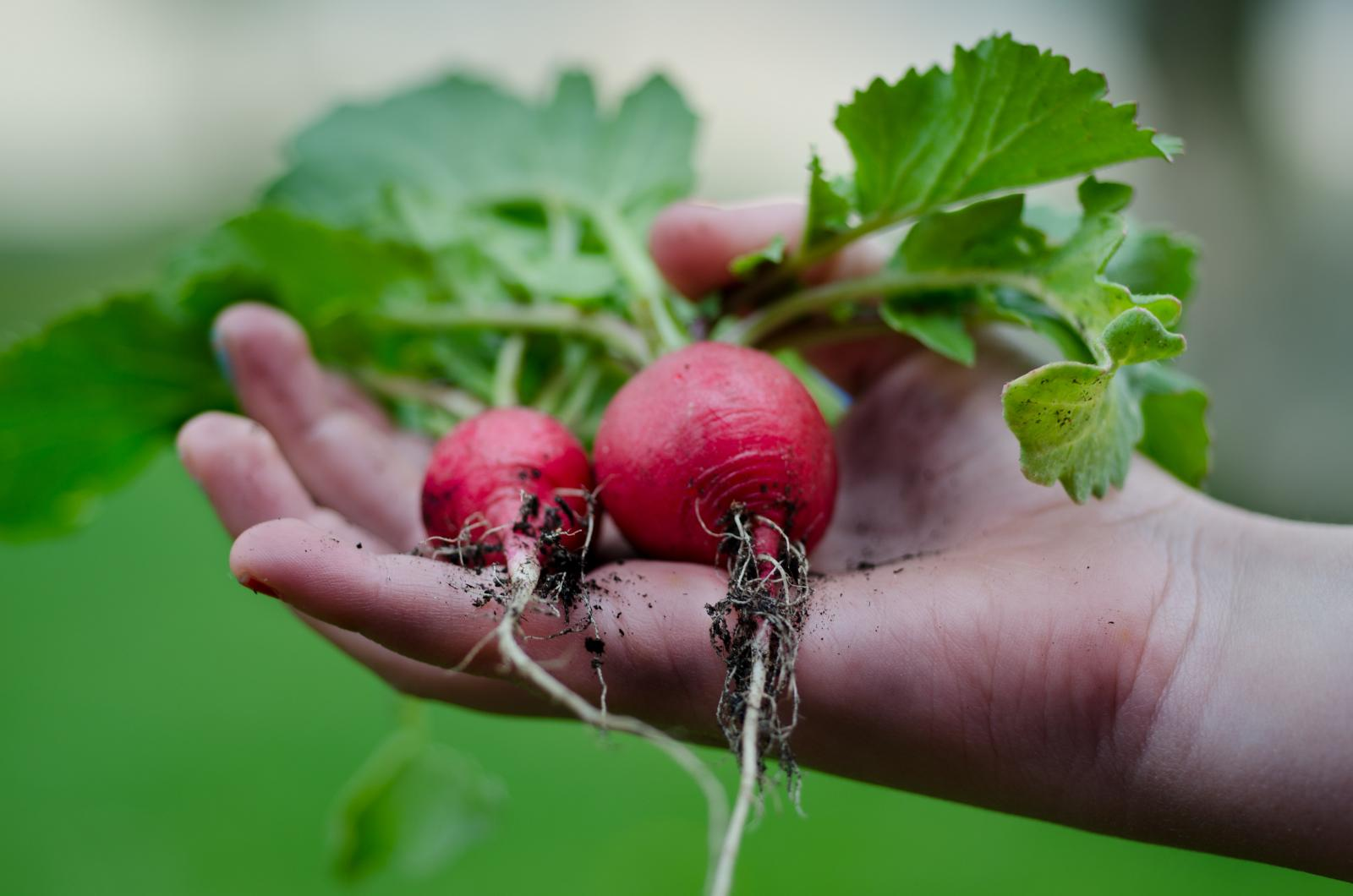 Beetroot harvest. Photo credit: Pexels