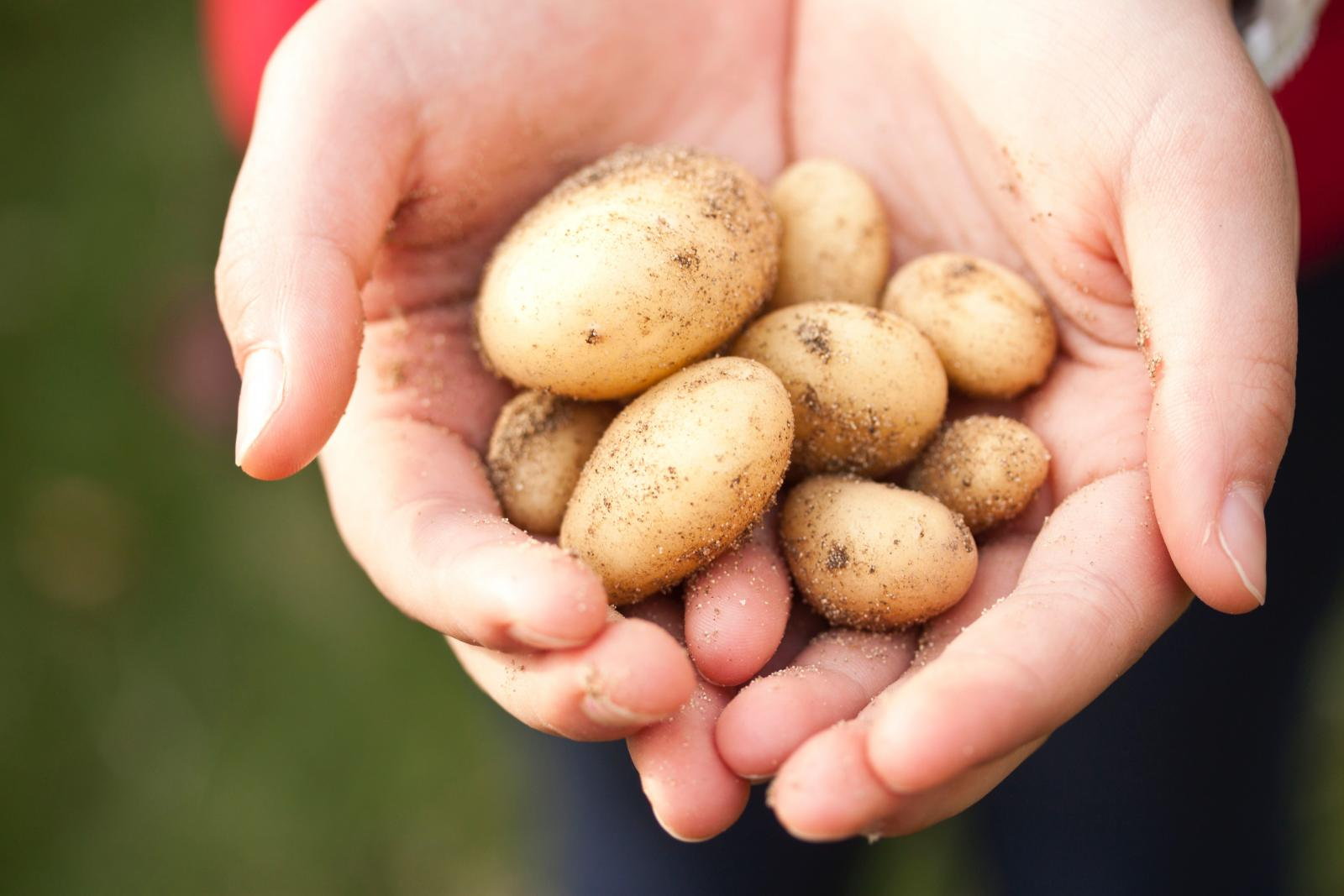 Potatoes in hands. Photo credit: Pexels