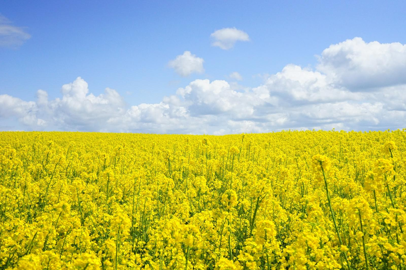 Field of rapeseed. Photo credit: Pixabay