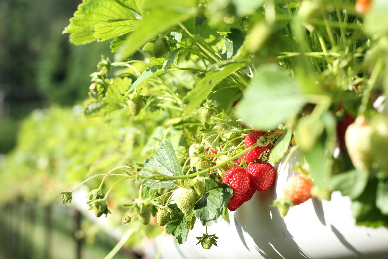 Strawberries. Photo credit: Pexels