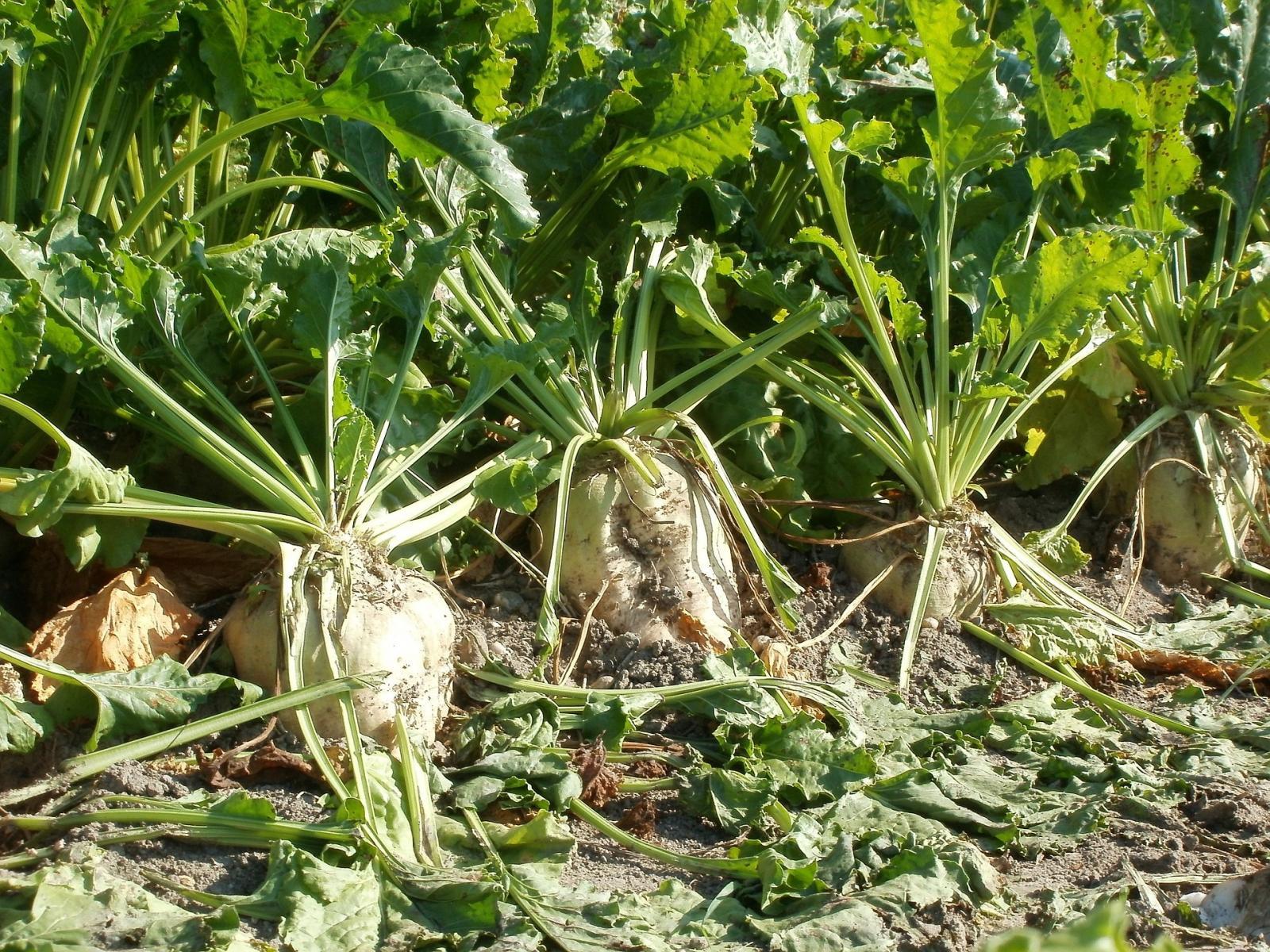 Sugar beet. Photo credit: Pixabay