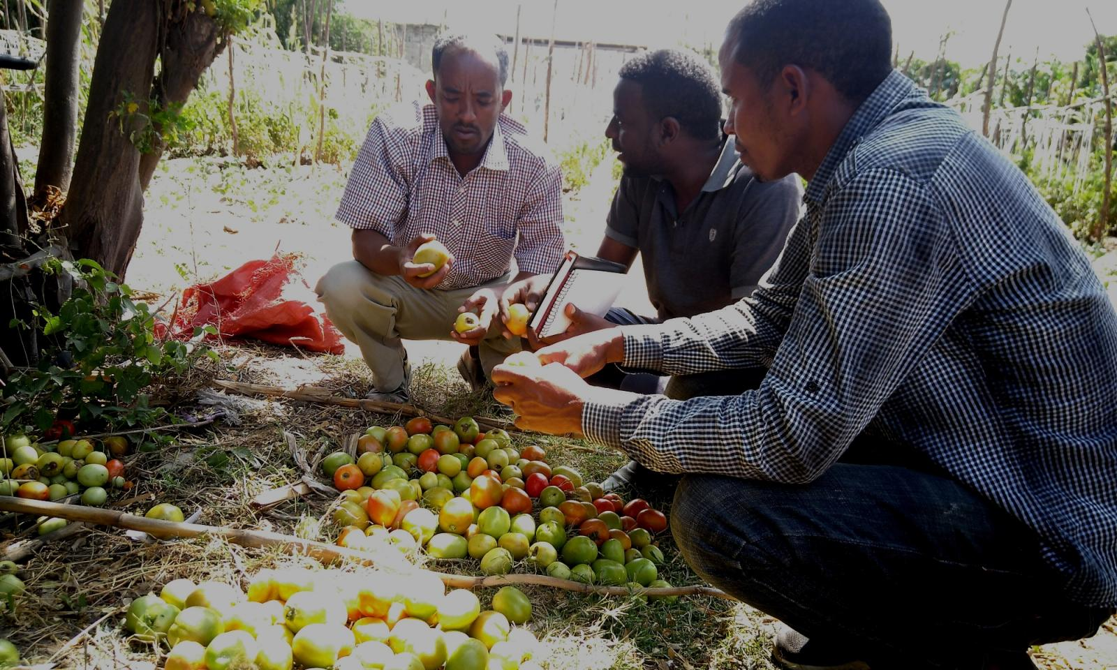 Grading tomatoes from different trials. Photo credit: PAN Ethiopia