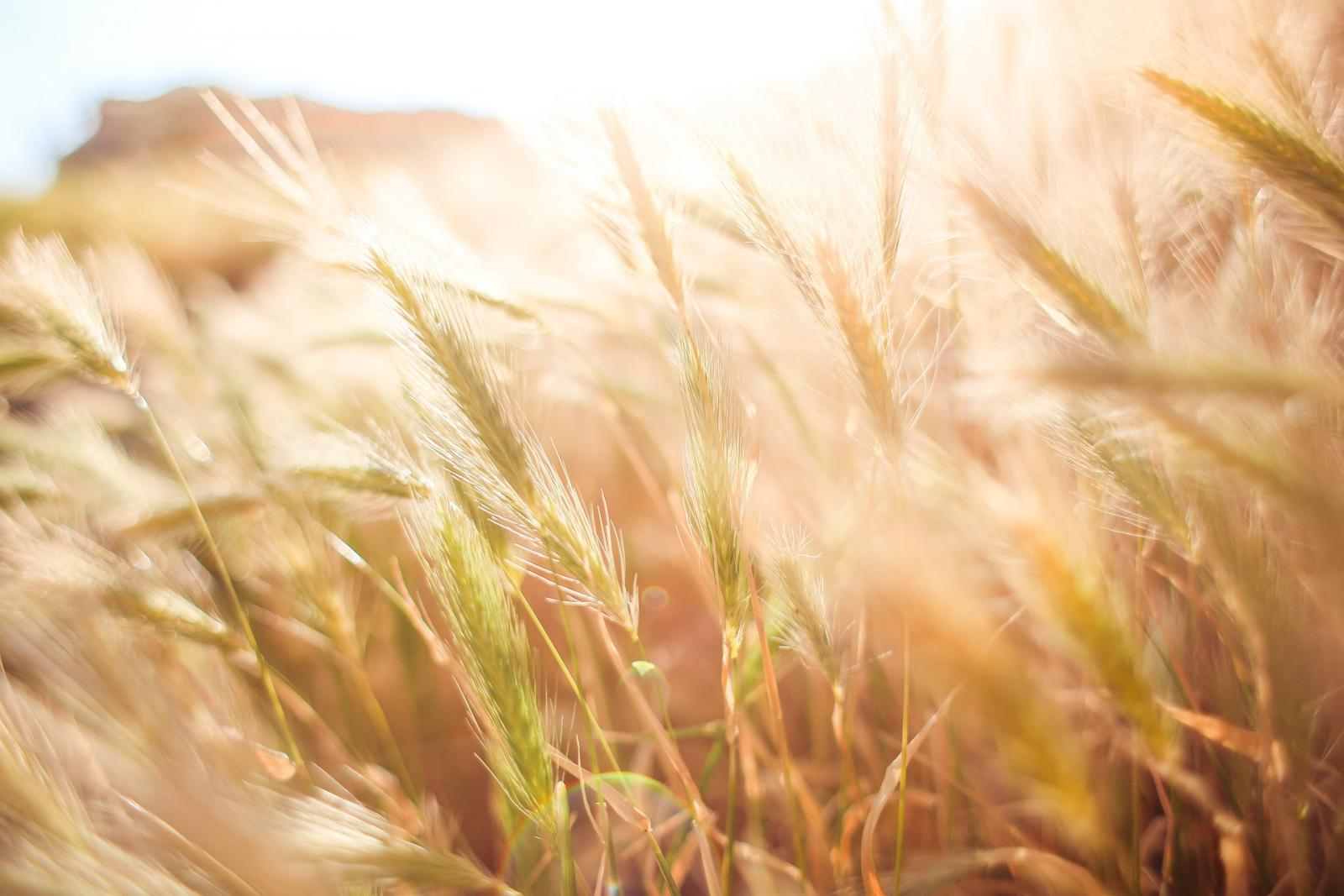 Close up of wheat. Photo credit: Pixabay