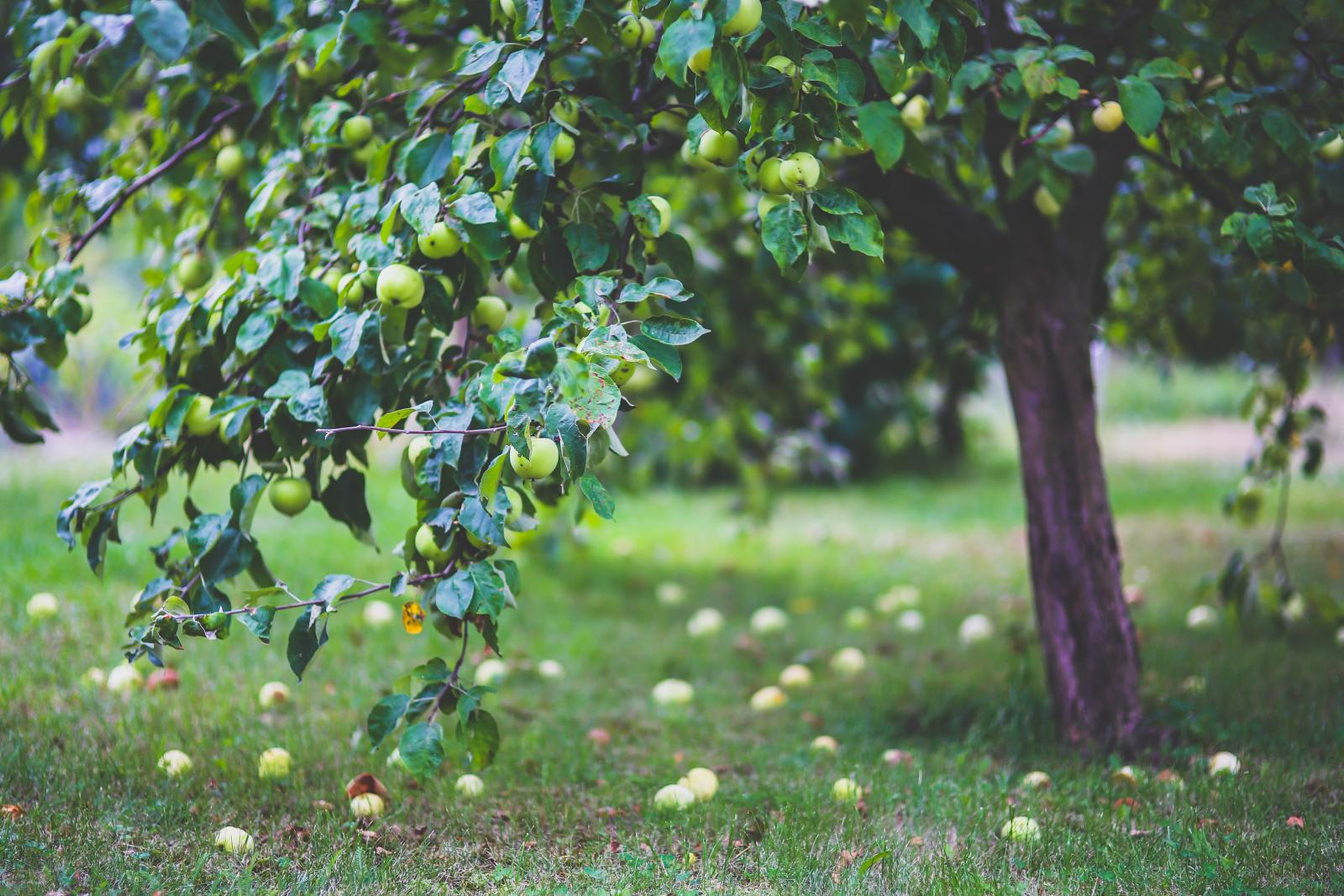 Apple tree. Photo credit: Pexels