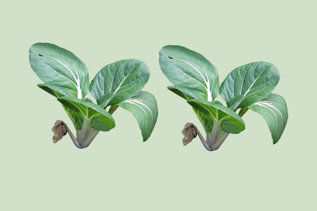 Pak Choi by Capital Growth