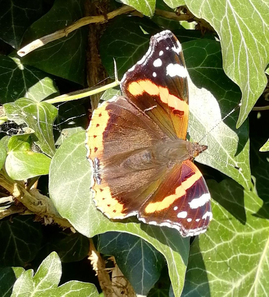 Red Admiral Butterfly Credit V Hird
