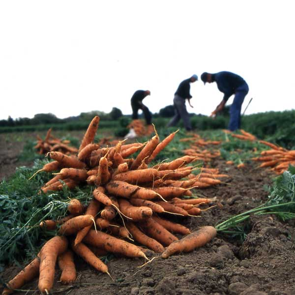 Carrot pickers. Photo credit: Sustain