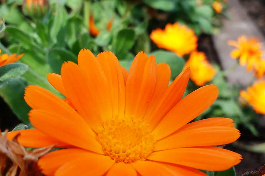 Photo: Calendula flower by julie Smith