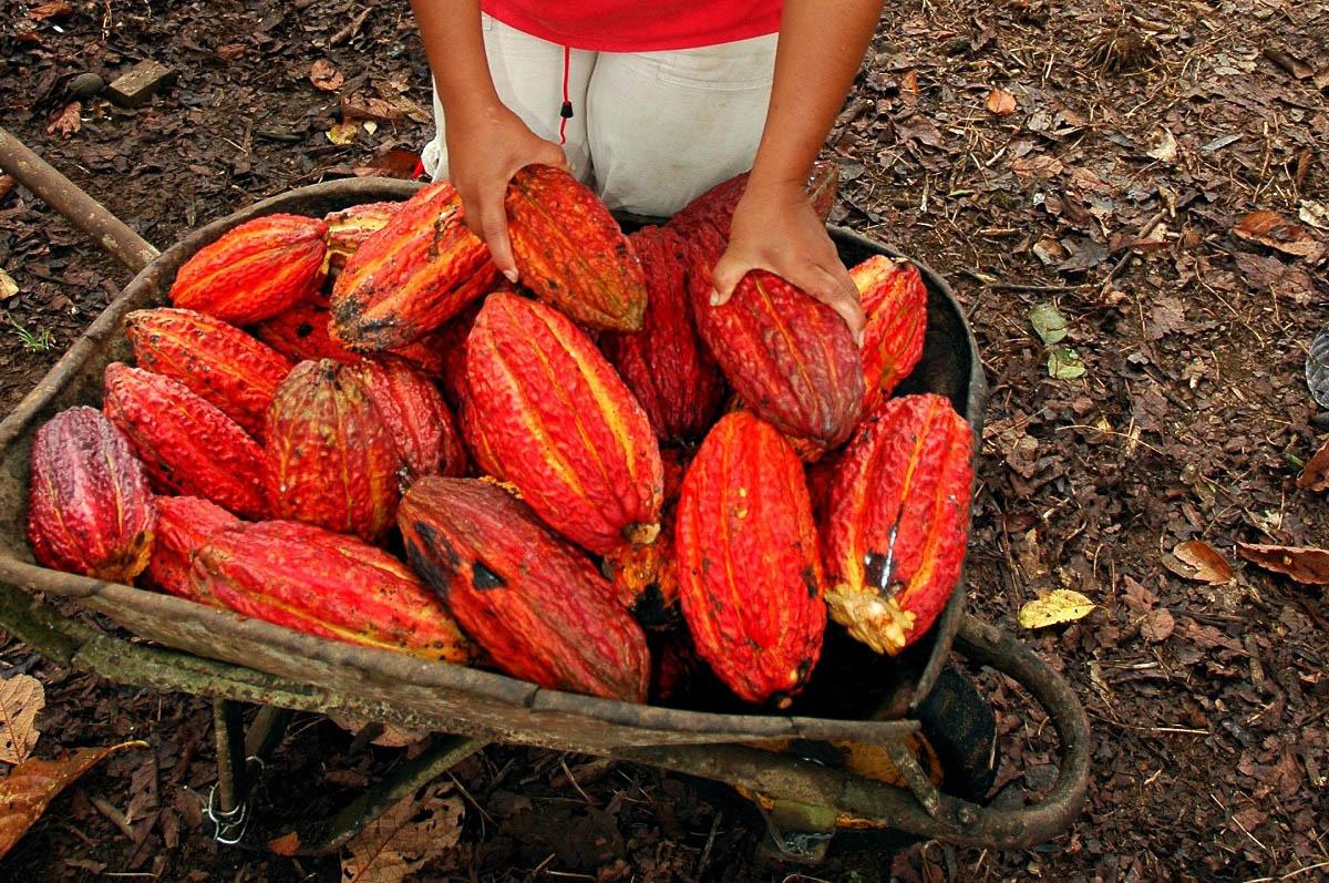 Cacao harvest. Public domain
