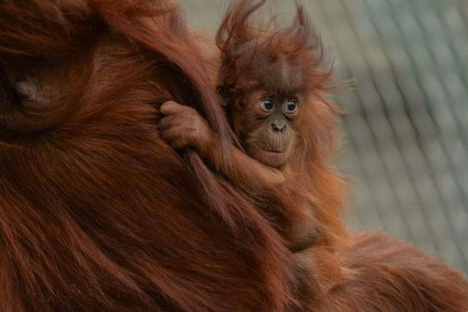 Baby orangutan Siska. Photo reproduced with permission from Chester Zoo